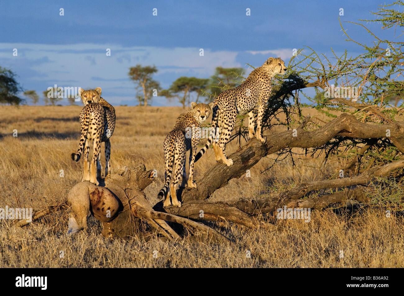 La litière Cheetah cubs adultes ludique escalade un arbre (Acinonyx jubatus), Ngorongoro, en Tanzanie, Ndutu Photo Stock