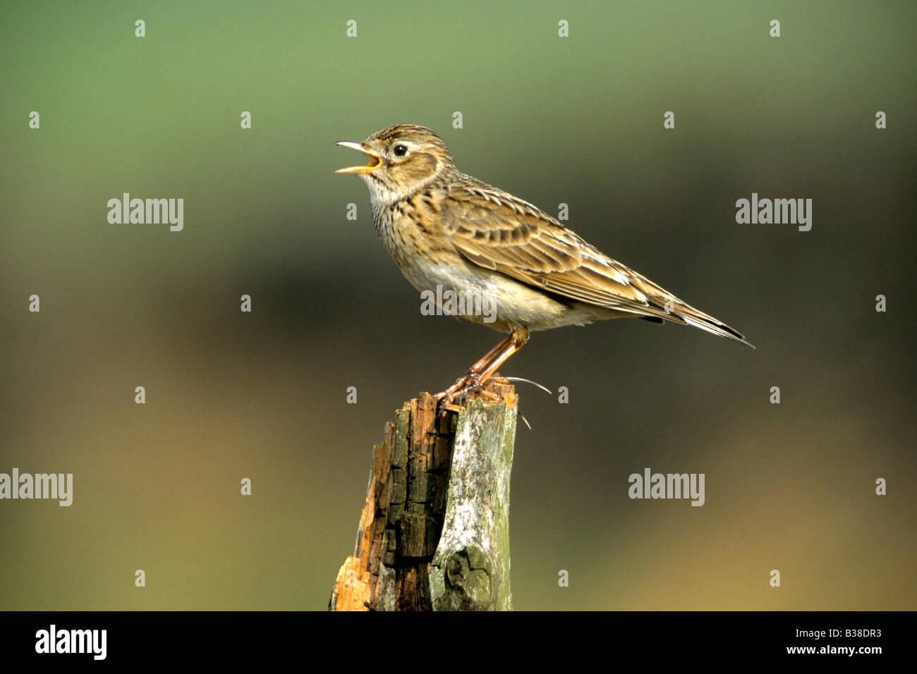 Alouette des champs (Alauda arvensis) chanter de vieux poteau de clôture Photo Stock