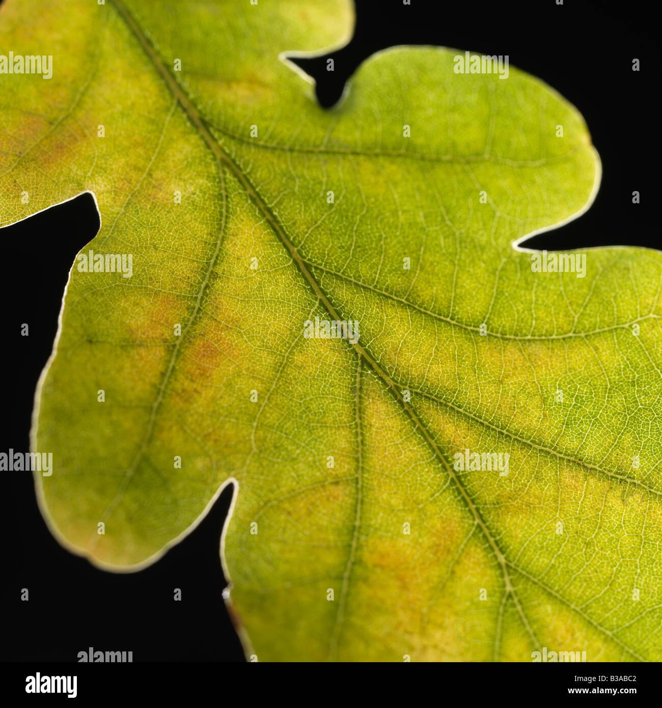 Fallen Leaf sur fond noir Banque D'Images
