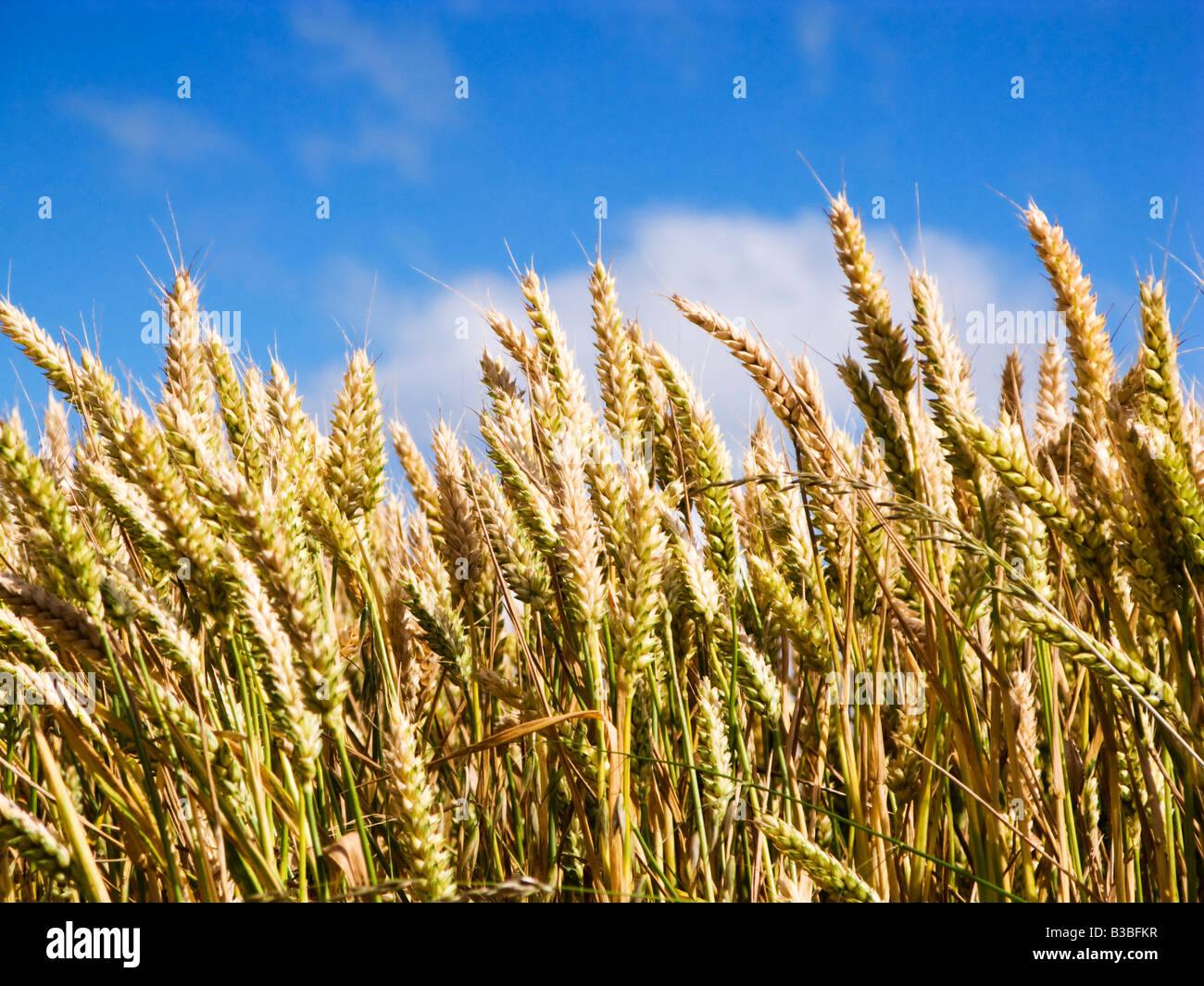 Gros plan de blé Photo Stock