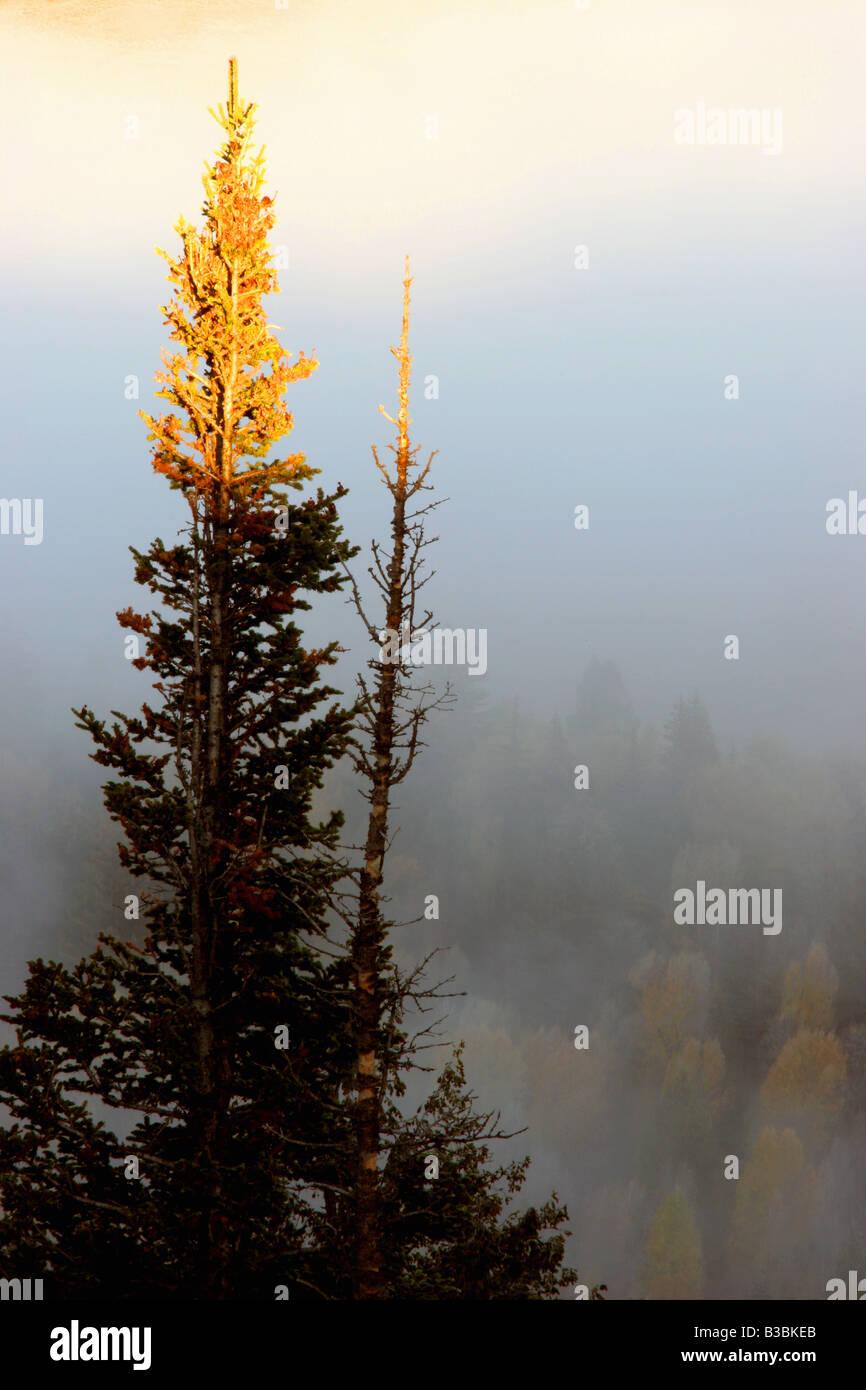 Bien sur le pin, parc national de Grand Teton, Wyoming Banque D'Images