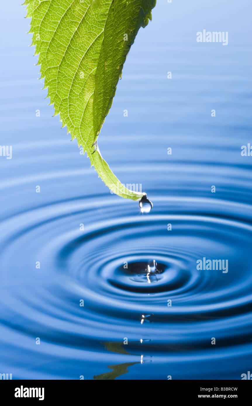 Les gouttelettes d'eau tombant de la feuille à l'origine de rides. Flowering cherry tree leaf. Photo Stock
