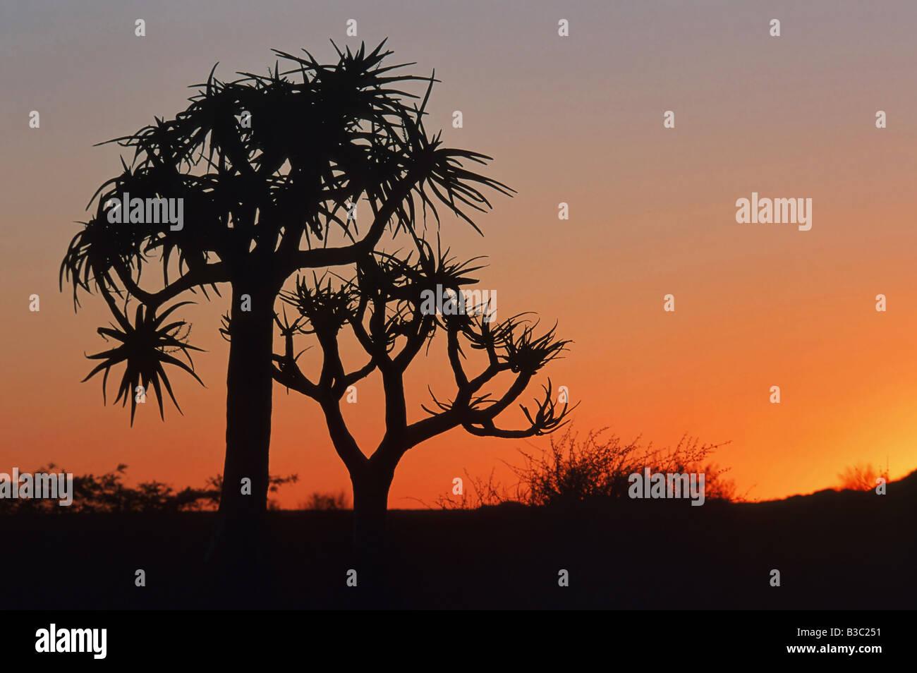 Aloe dichotoma Quiver Tree Kokerboom arbres au coucher du soleil l'Afrique Namibie Photo Stock
