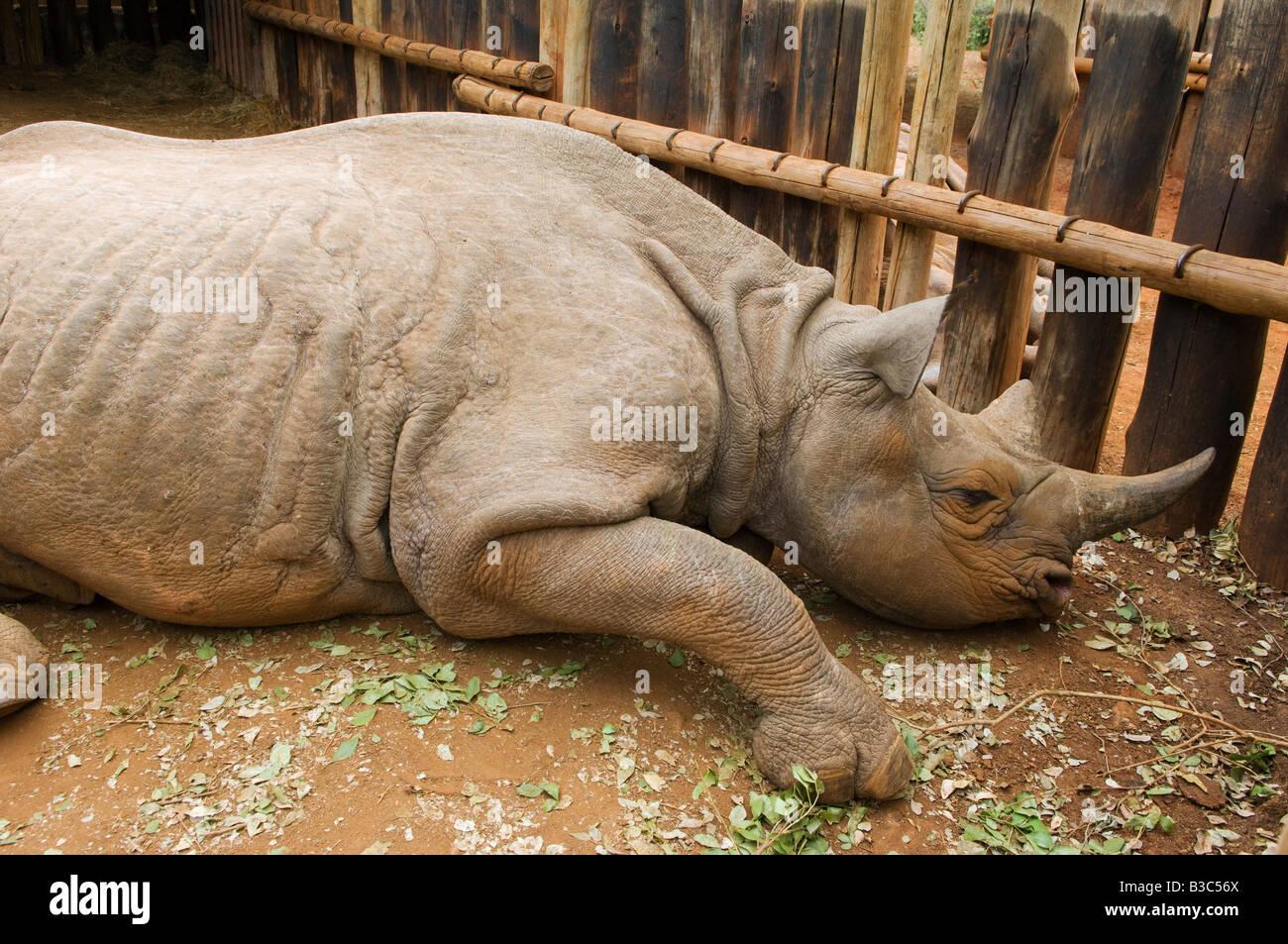Kenya, Nairobi, David Sheldrick Wildlife Trust. Orphelins d'un rhinocéros noir repose dans son composé à l'David Sheldrick Wildlife Trust, où il va grandir et rassembler des forces avant d'être relâché dans la nature. Banque D'Images