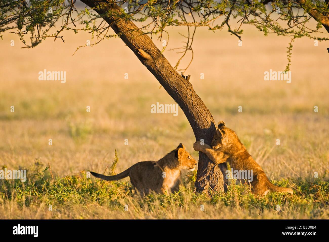 L'Afrique, Botswana, Lion cubs (Panthera leo) Banque D'Images
