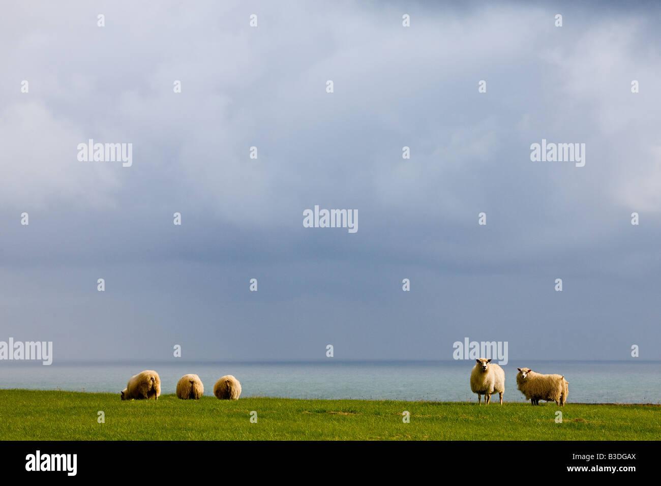 Agneaux dans paysage Islande Photo Stock