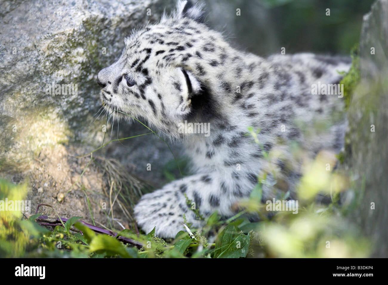 Schneeleopard Uncia uncia Snow Leopard un mois vieux cub Banque D'Images