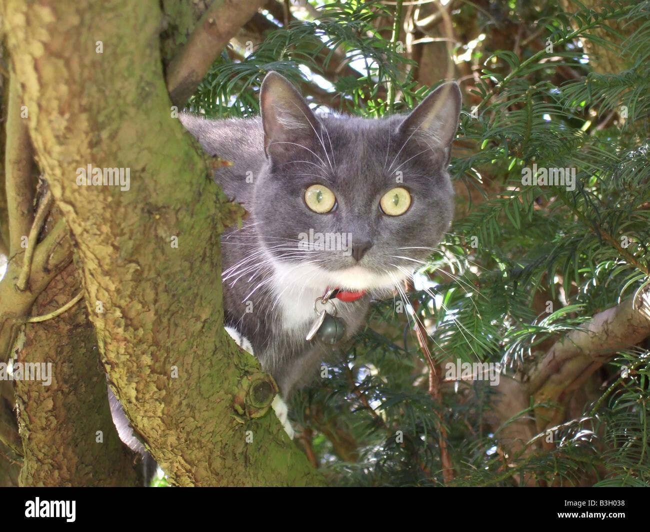 gris fum et blanc cat dans un arbre d 39 if de beaux yeux. Black Bedroom Furniture Sets. Home Design Ideas