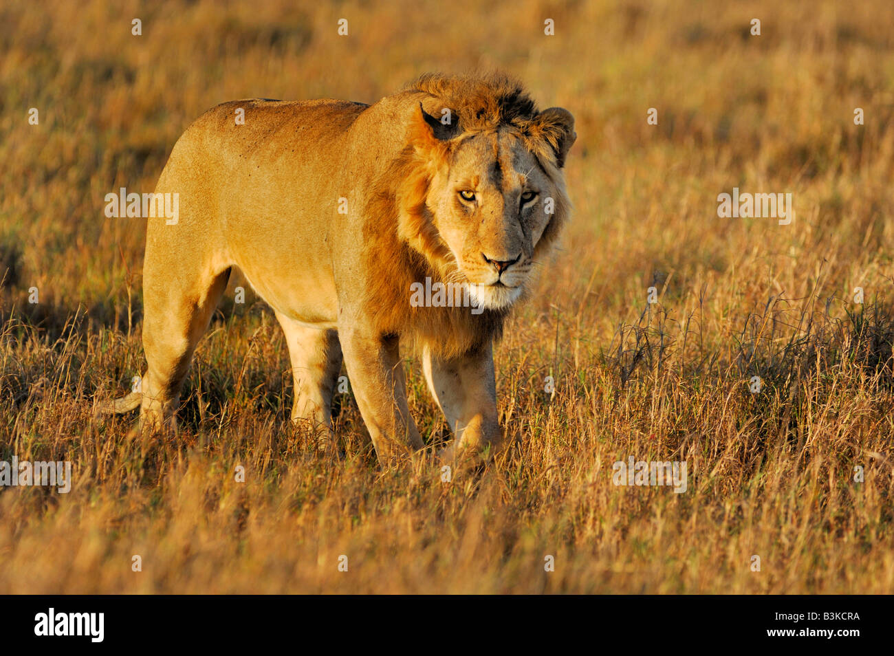 L'African Lion Panthera leo homme Masai Mara, Kenya, Afrique du Sud Photo Stock