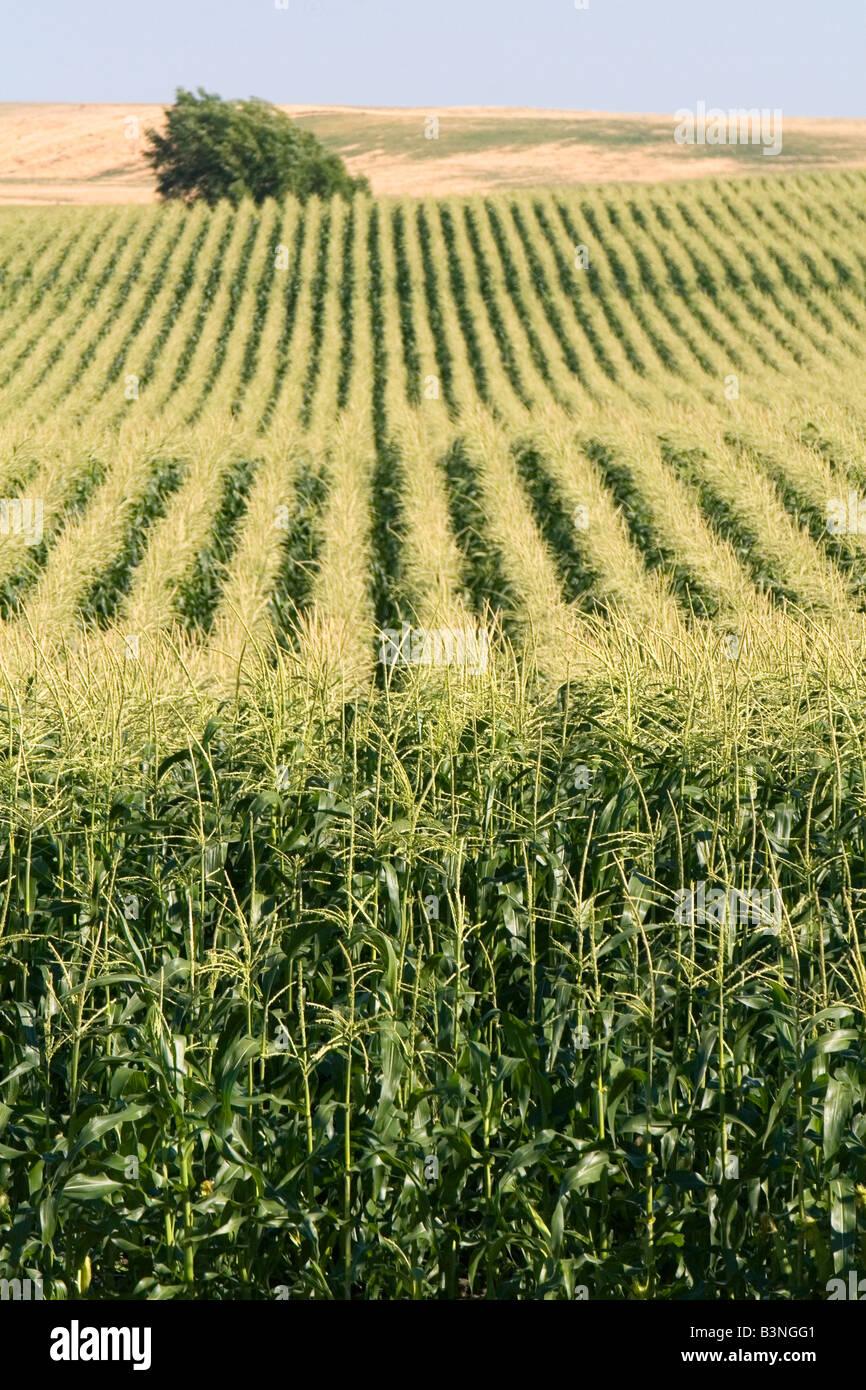 Récolte de maïs près de Washington Pasco Photo Stock