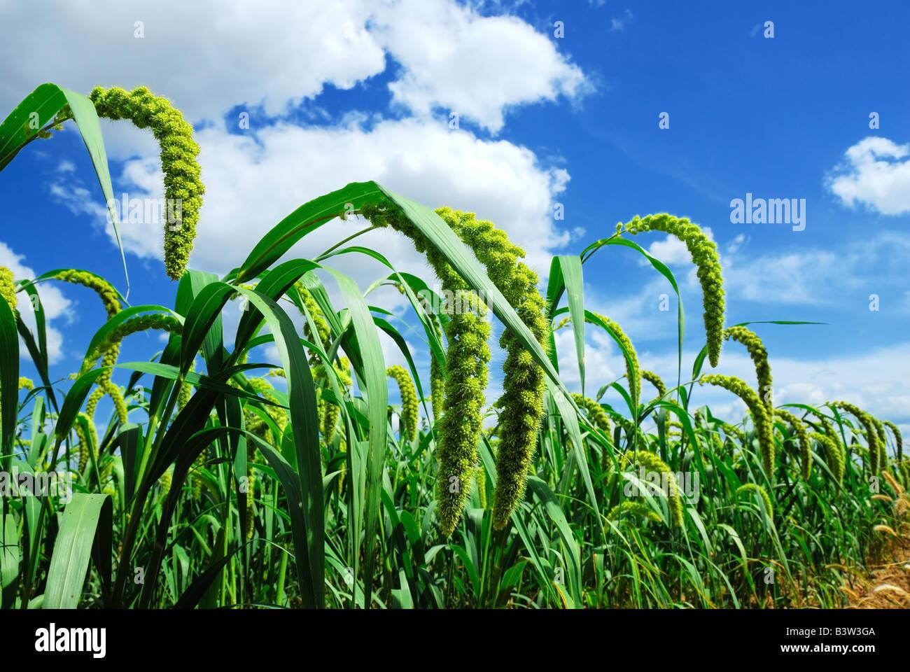 Millet vert avec fond de ciel bleu Photo Stock