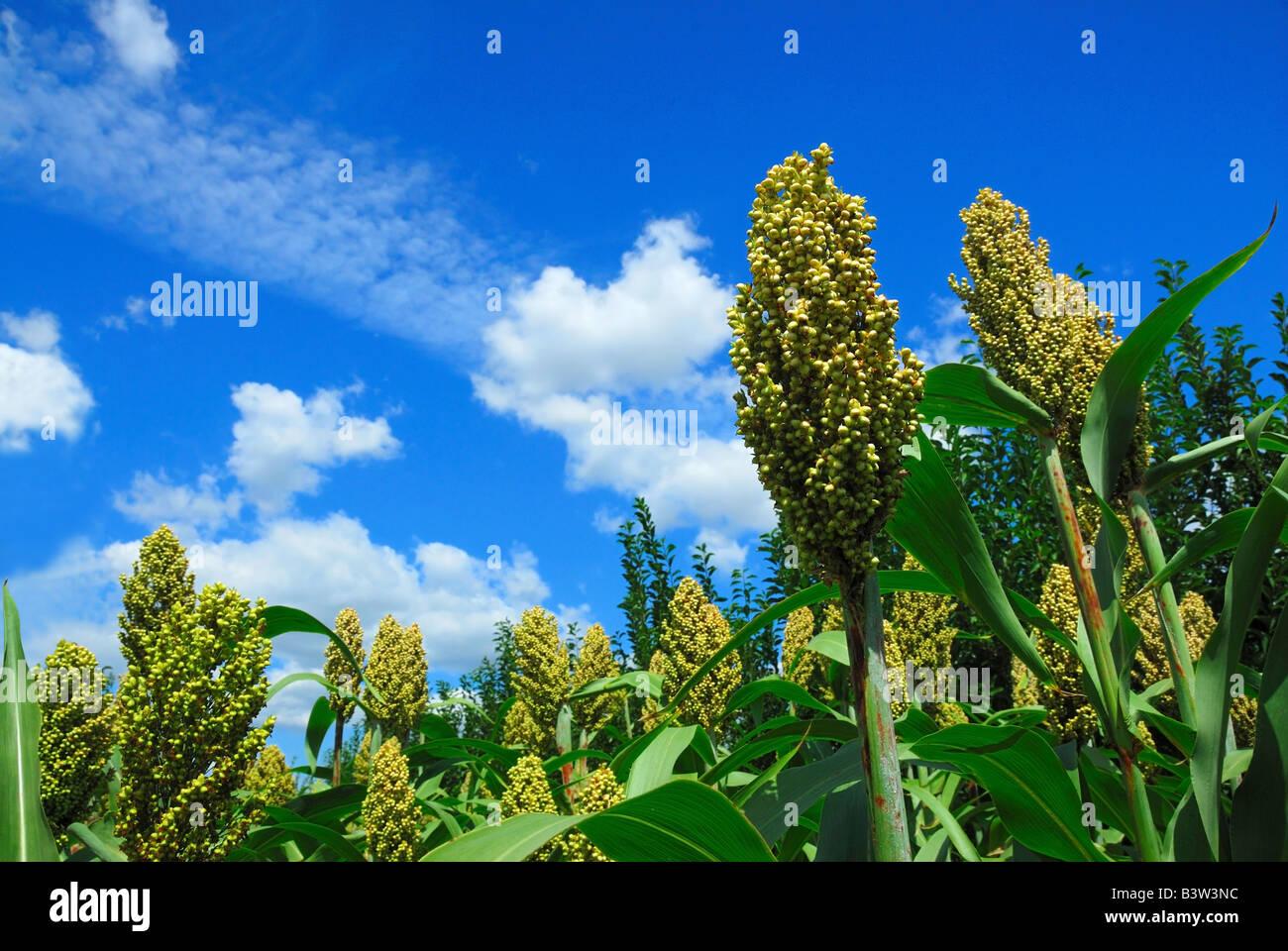 Le sorgho vert avec fond de ciel bleu Photo Stock