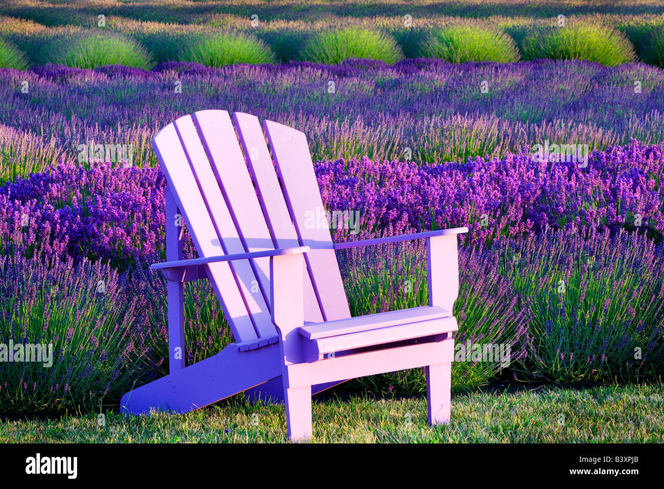 Chaire en champ de lavande Anges Lavender Farm Washington Photo Stock