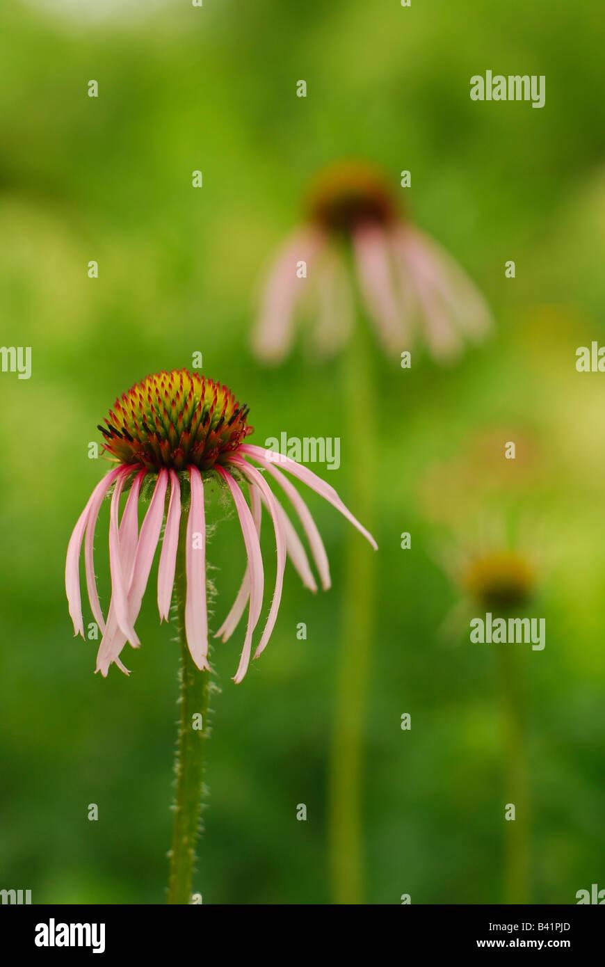 Pourpre clair Coneflowers dans une prairie Garden Photo Stock