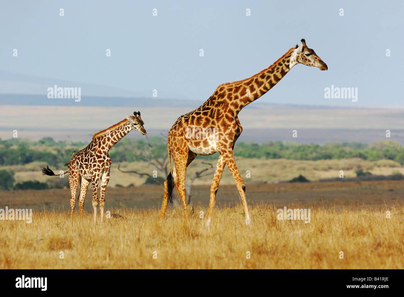 Le Masai Giraffe Giraffa camelopardalis tippelskirchi avec de jeunes femmes Masai Mara, Kenya, Afrique du Sud Photo Stock