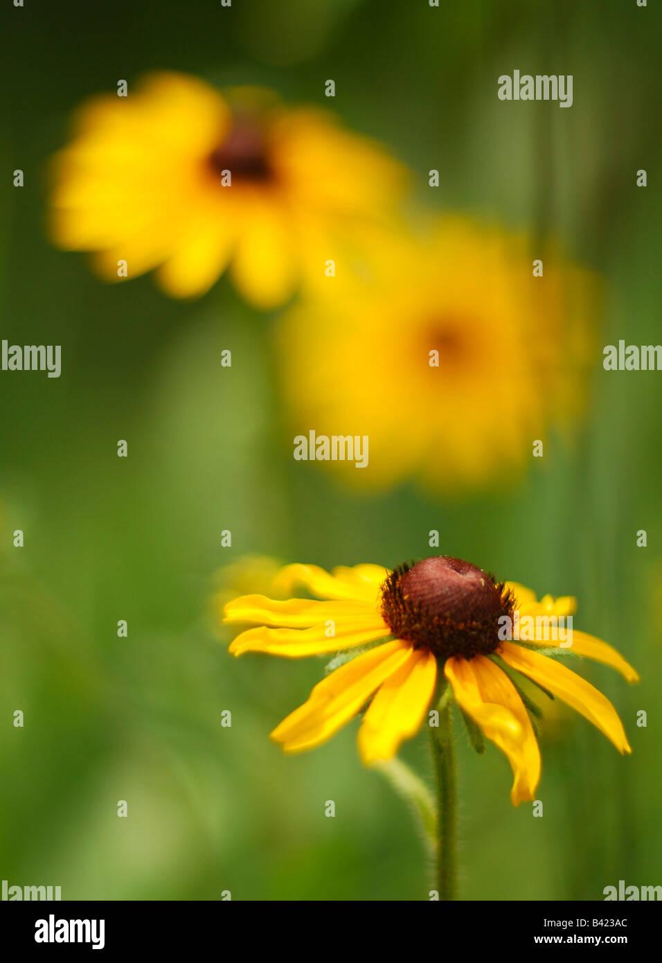 Susans Black Eyed dans une prairie Garden Photo Stock