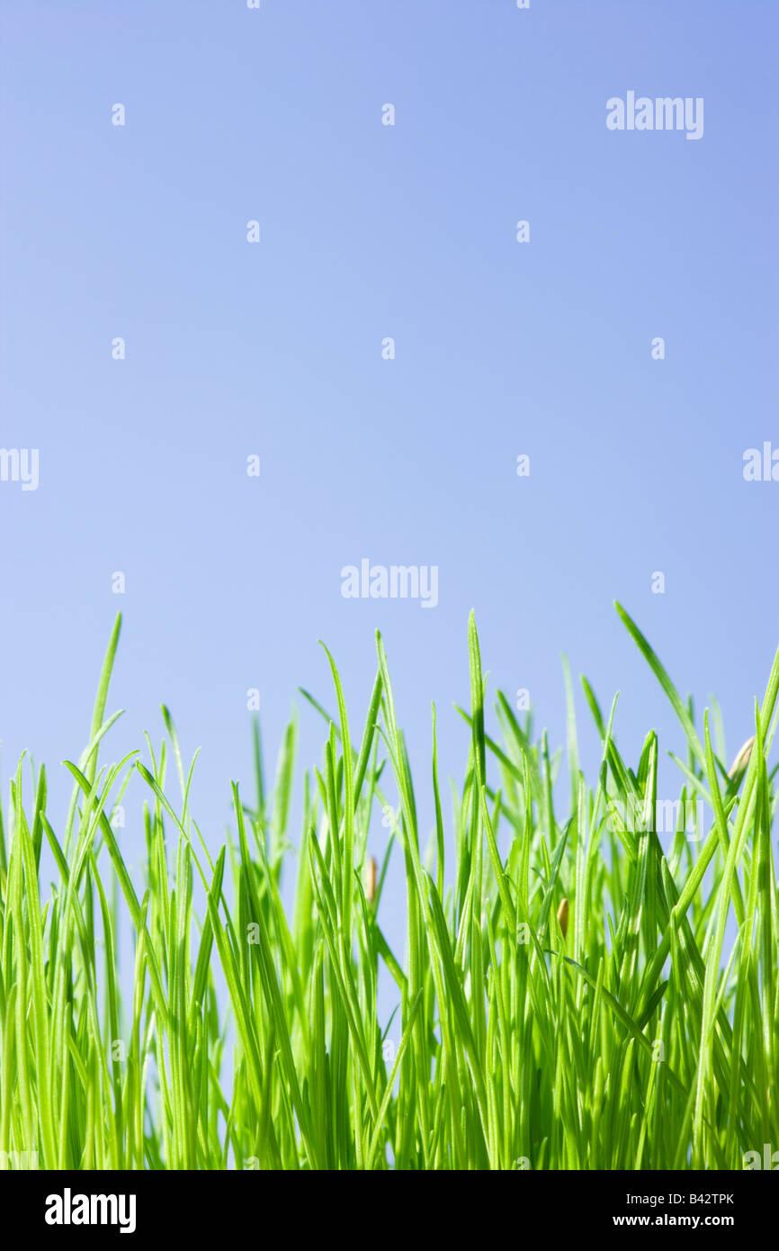 L'herbe, low angle contre le ciel bleu. Photo Stock
