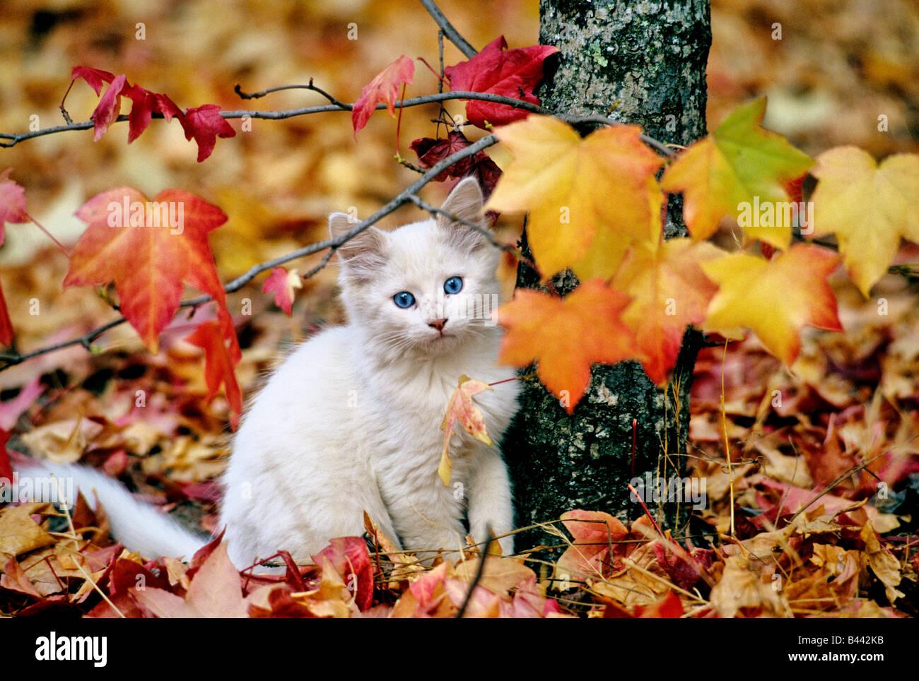 Chaton pour mineurs, des feuilles d'automne coloré. Photo Stock