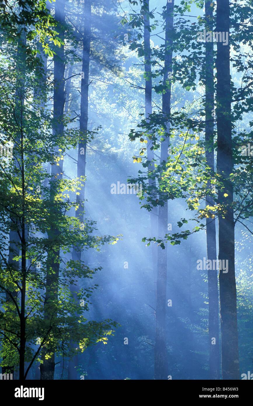 Les rayons de lumière filtre à travers les arbres forestiers, par Bill Lea/Dembinsky Assoc Photo Photo Stock