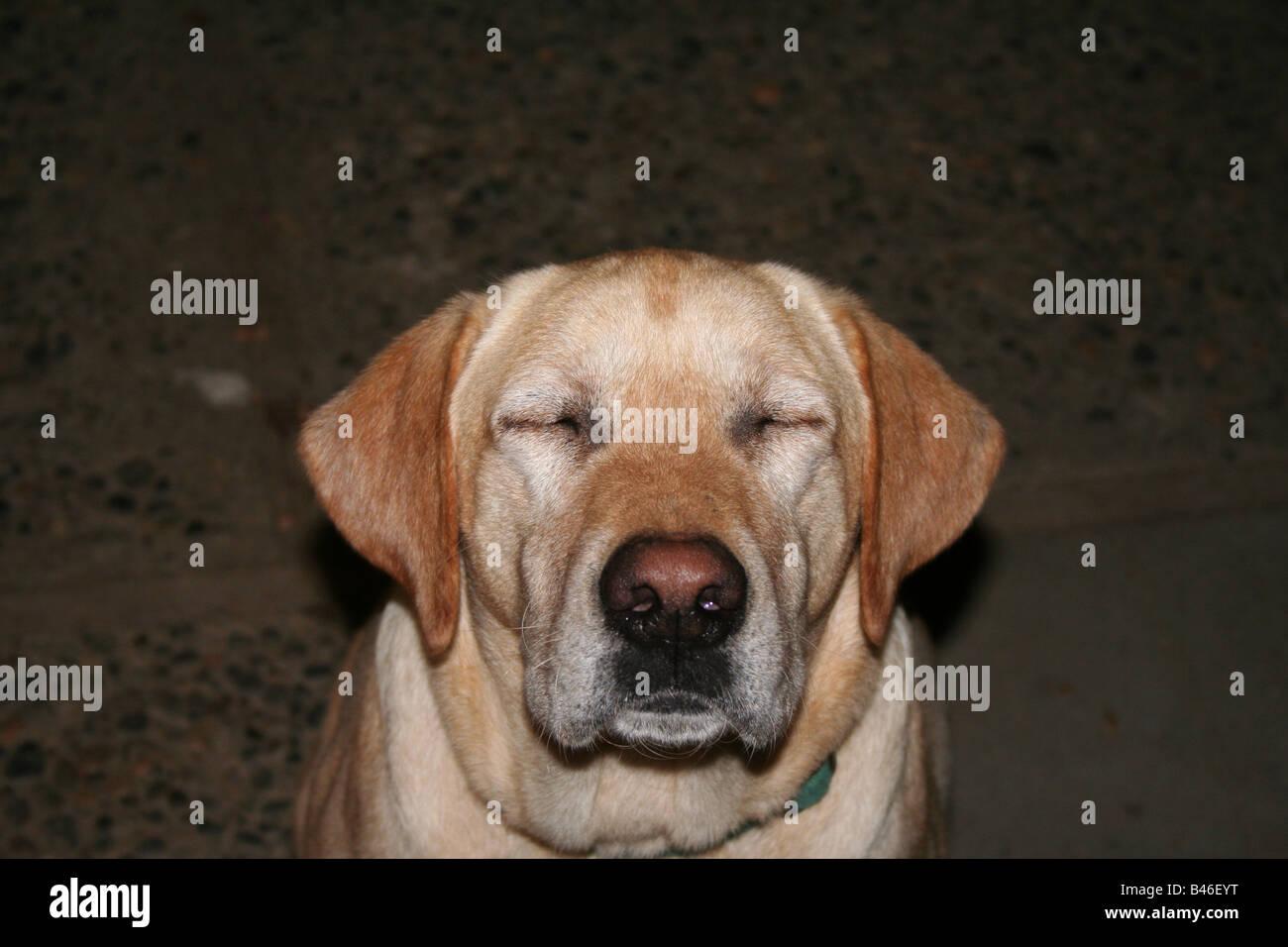 Chien labrador jaune avec les yeux fermé Photo Stock