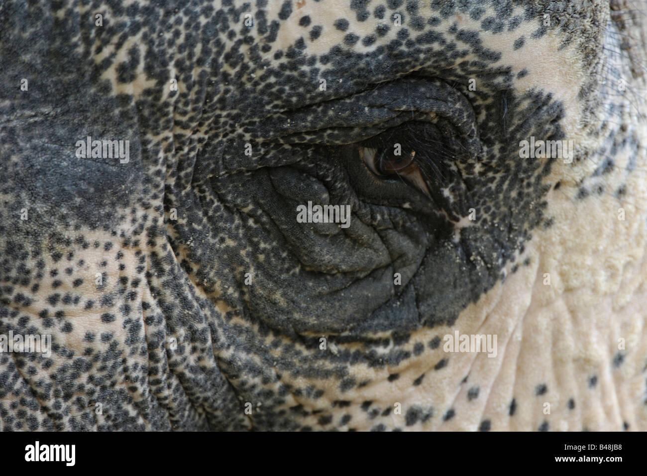 Auge eines Elefanten Asiatischen Oeil d'un éléphant d'Asie Elephas maximus Photo Stock