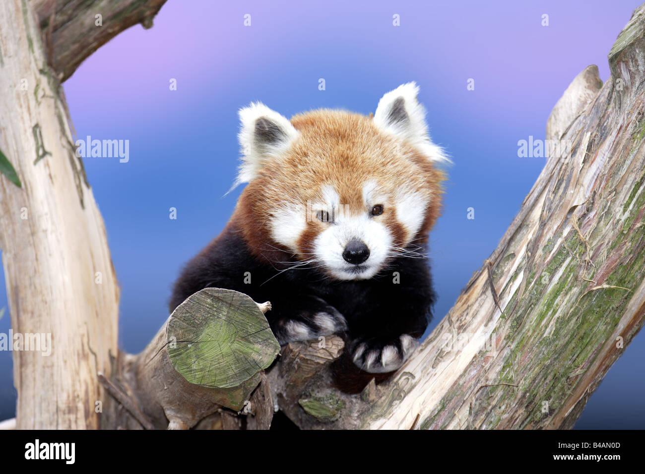 petit panda Banque D'Images