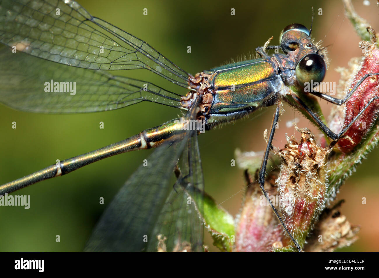 Facet libellule yeux composite corps entier tête avant close up detail wings insect sitting demoiselle fly Photo Stock