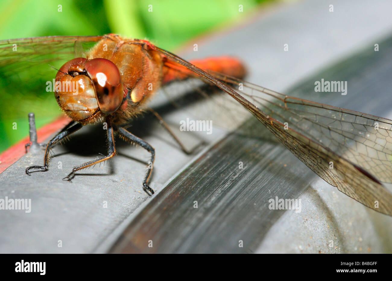 Facet libellule yeux composite corps entier tête avant close up detail insectes ailes assis Photo Stock