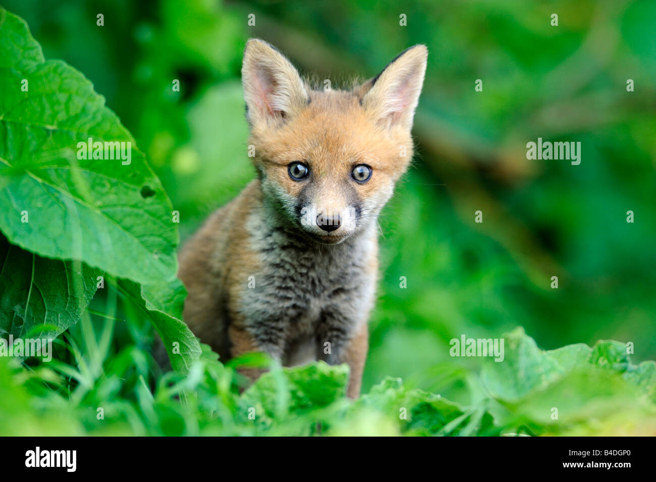 Renard roux cub Photo Stock