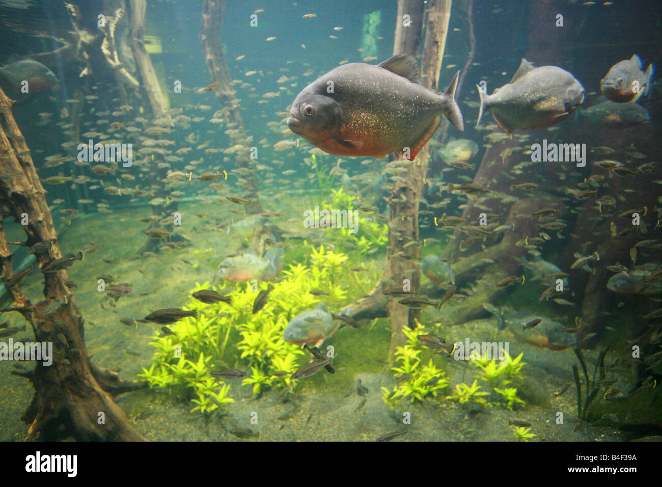 le piranha ventre rouge poisson qui nage dans le r servoir de verre g ant au london aquarium. Black Bedroom Furniture Sets. Home Design Ideas