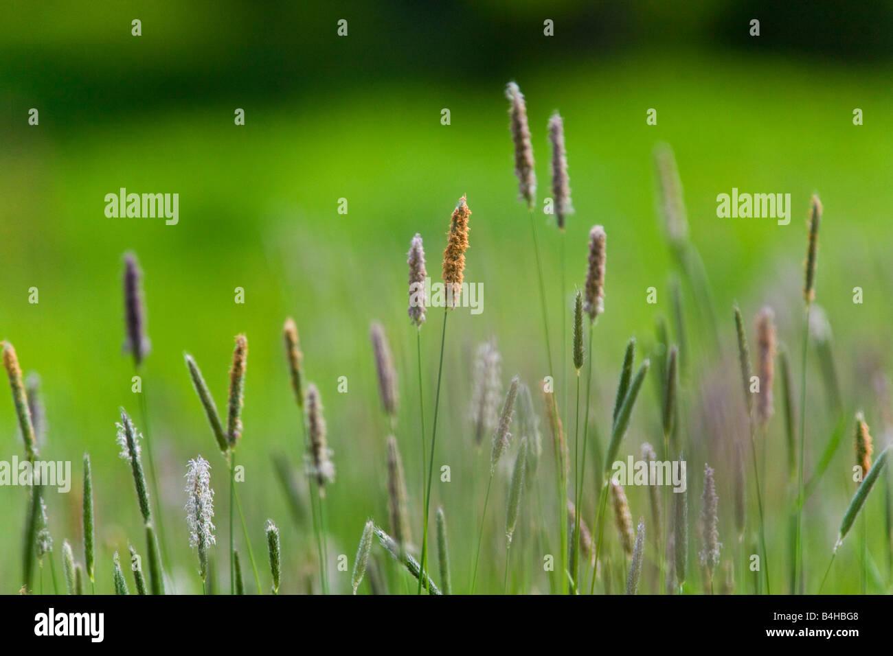Close-up de brins d'herbe Banque D'Images