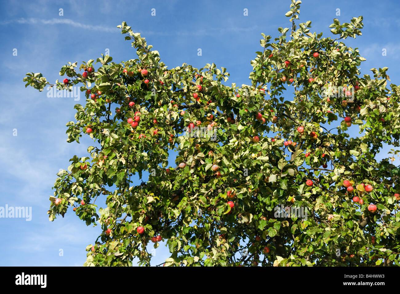 Big Apple Tree avec des pommes mûres pour la récolte des pommes rouges ciel bleu grande récolte riche Photo Stock