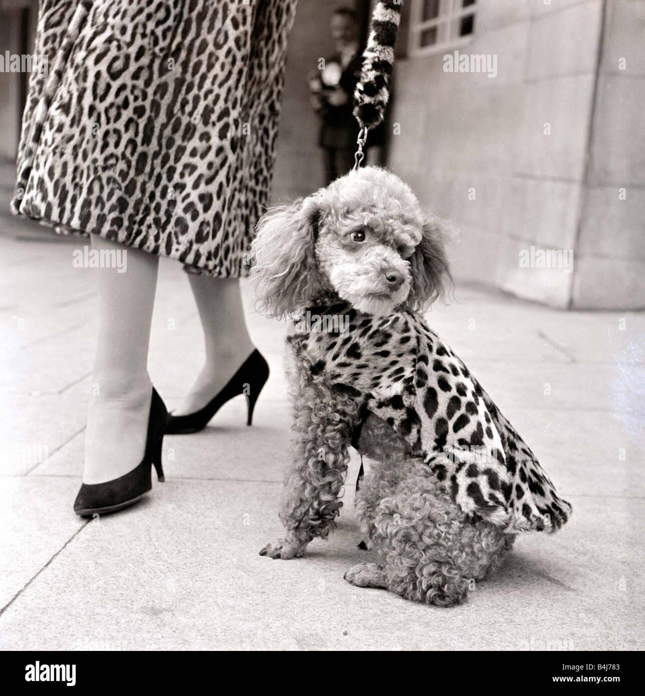 Les manteaux de fourrure pour les chiens poodle en manteau de fourrure léopard 1957 Septembre 1950 Photo Stock
