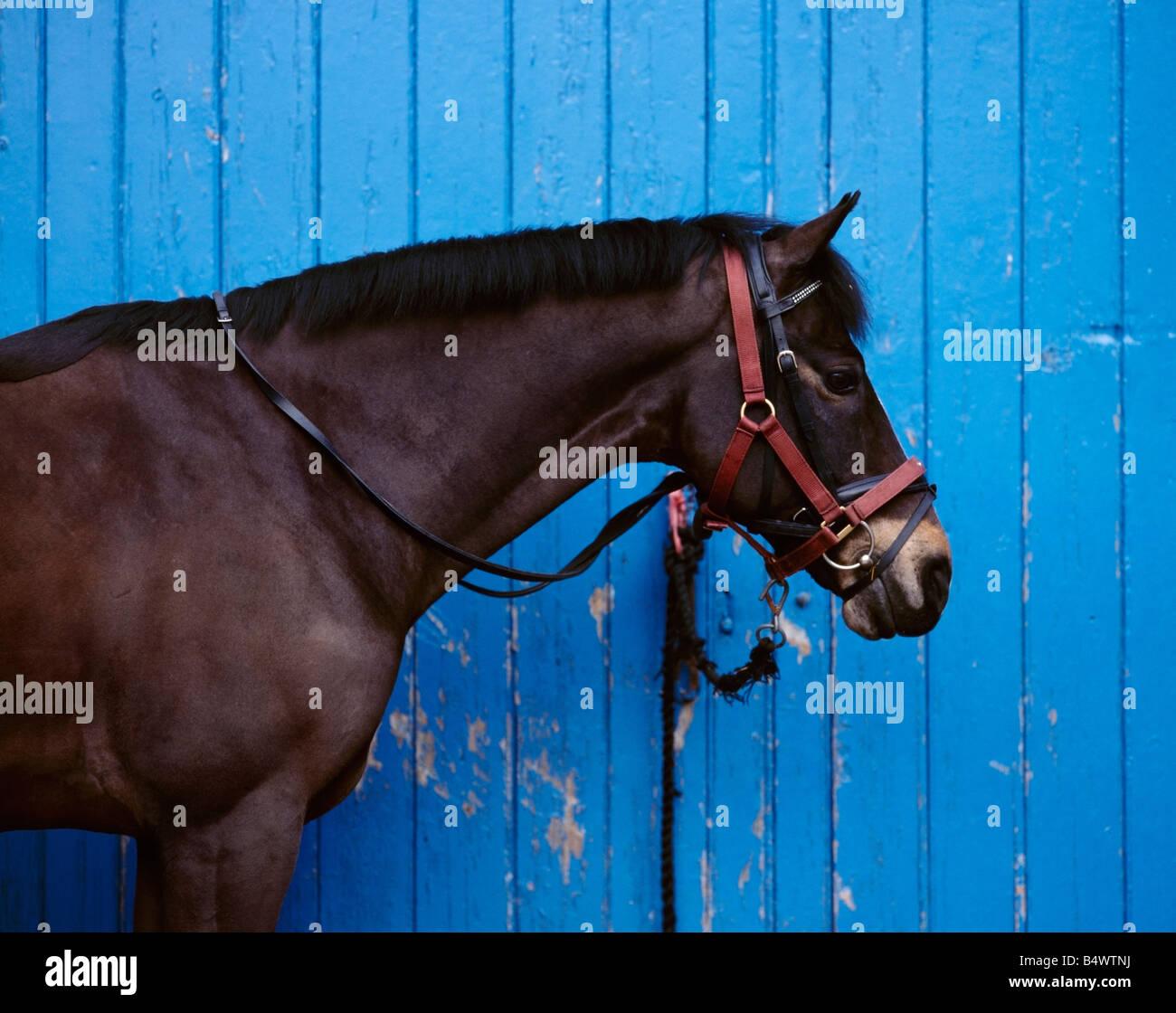 Une couleur couleur d'un cheval alezan en permanent contre un profil de mur en bois peint en bleu Photo Stock