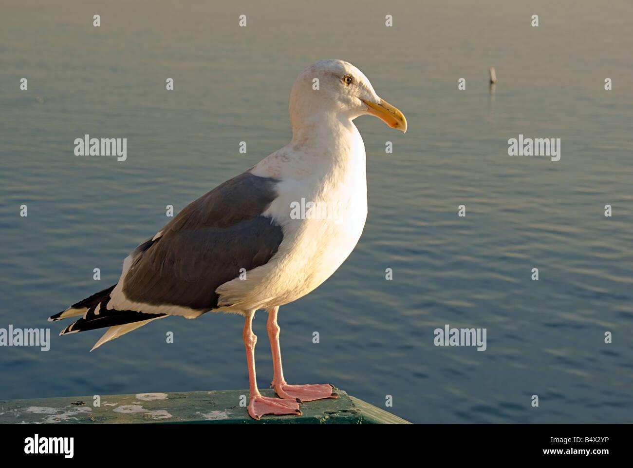 Sea Gull masculins de la baie de Santa Monica, CA Pacific Park Pier Photo Stock