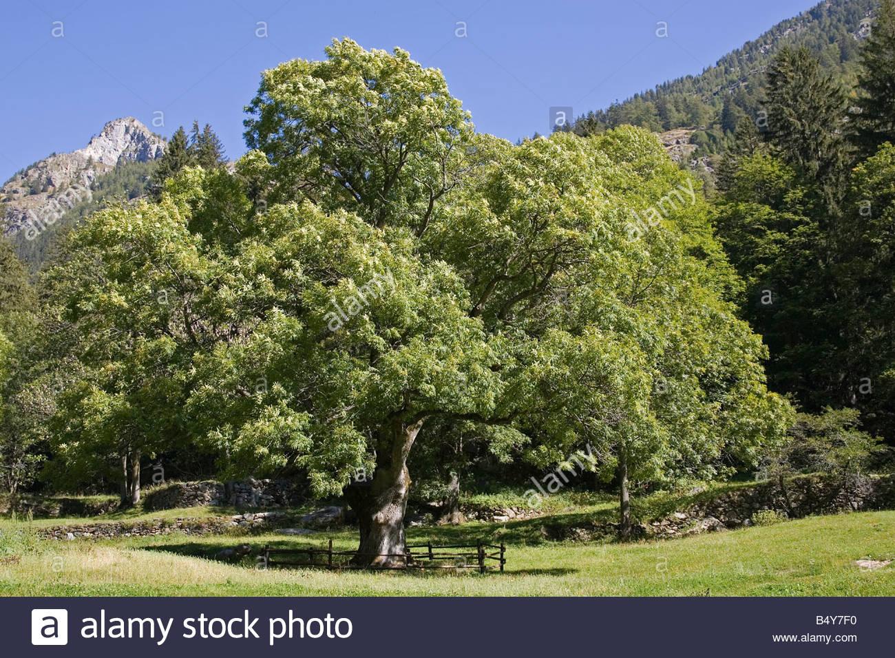 L'Europe, Italie, Val d'aoste,pont-sec,frêne Photo Stock