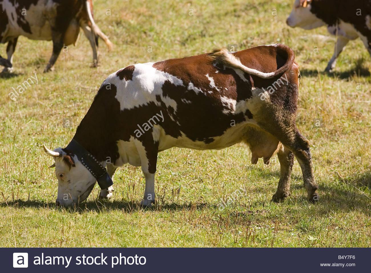 L'Europe, Italie, Val d'aoste,pont-sec,vaches Photo Stock