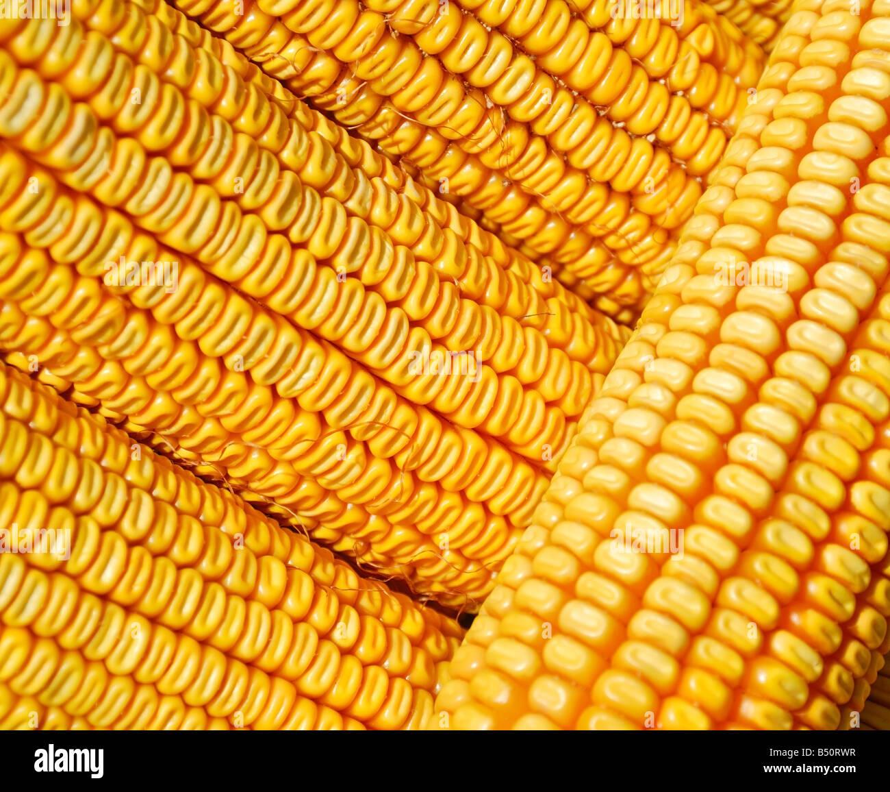 Collection de maïs jaune Photo Stock