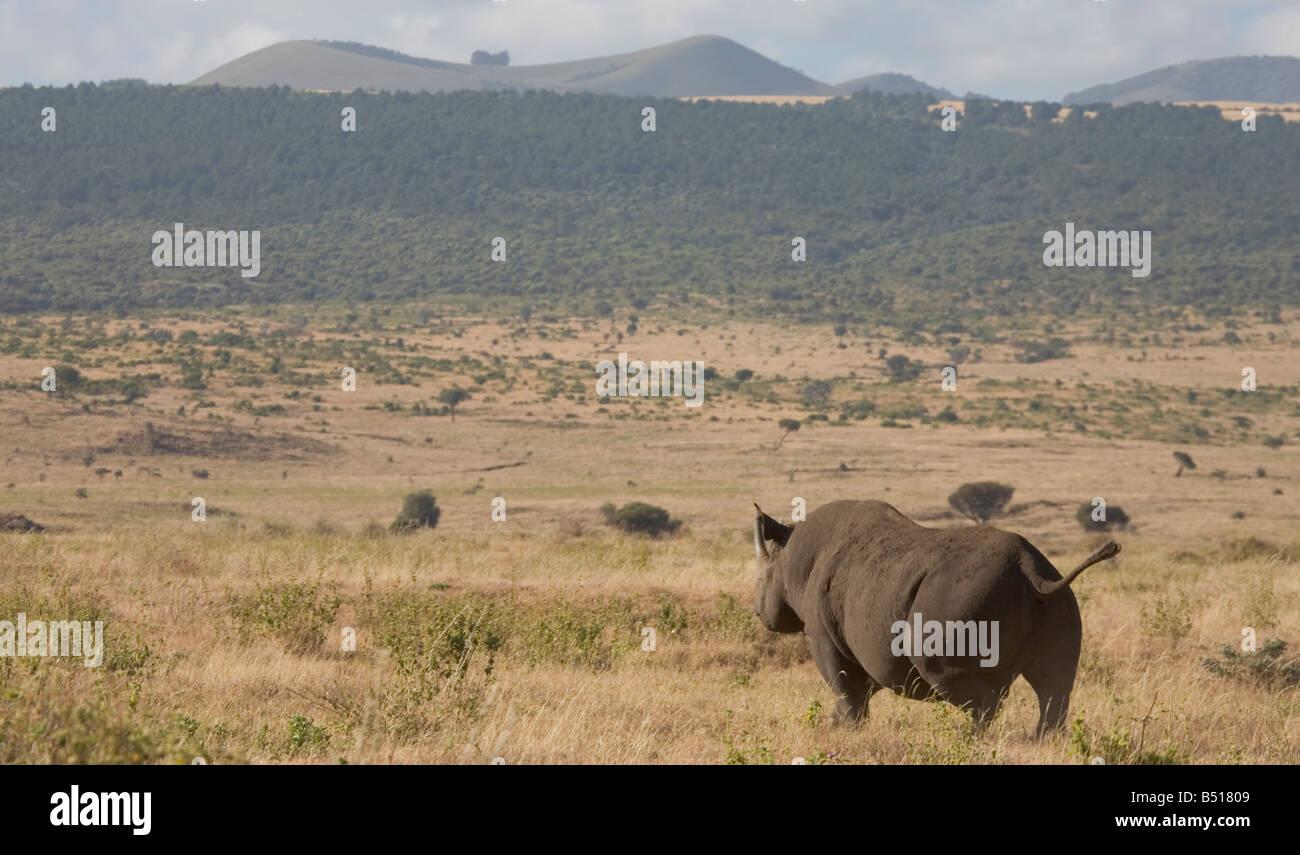 Le rhinocéros noir (Diceros bicornis) marche à travers les plaines, à Lewa Downs, au Kenya. Ce rhino est sauvage, en dépit d'être très en danger. Banque D'Images