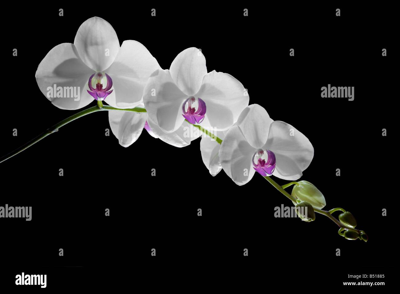 une orchid e phalaenopsis scape sp hampe florale d. Black Bedroom Furniture Sets. Home Design Ideas