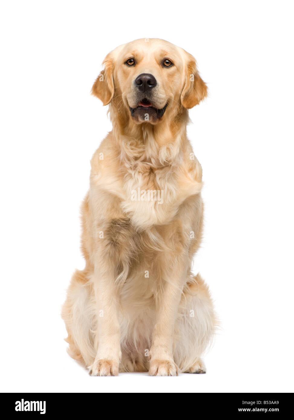 Golden Retriever 2 ans devant un fond blanc Photo Stock