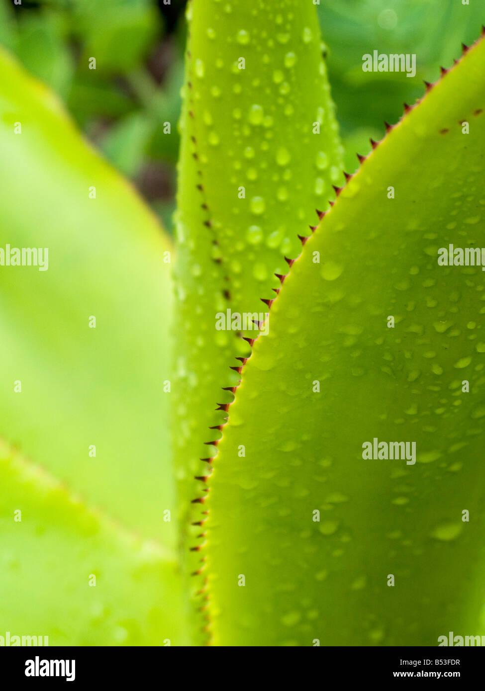 Les feuilles dentelées d'un agave Banque D'Images