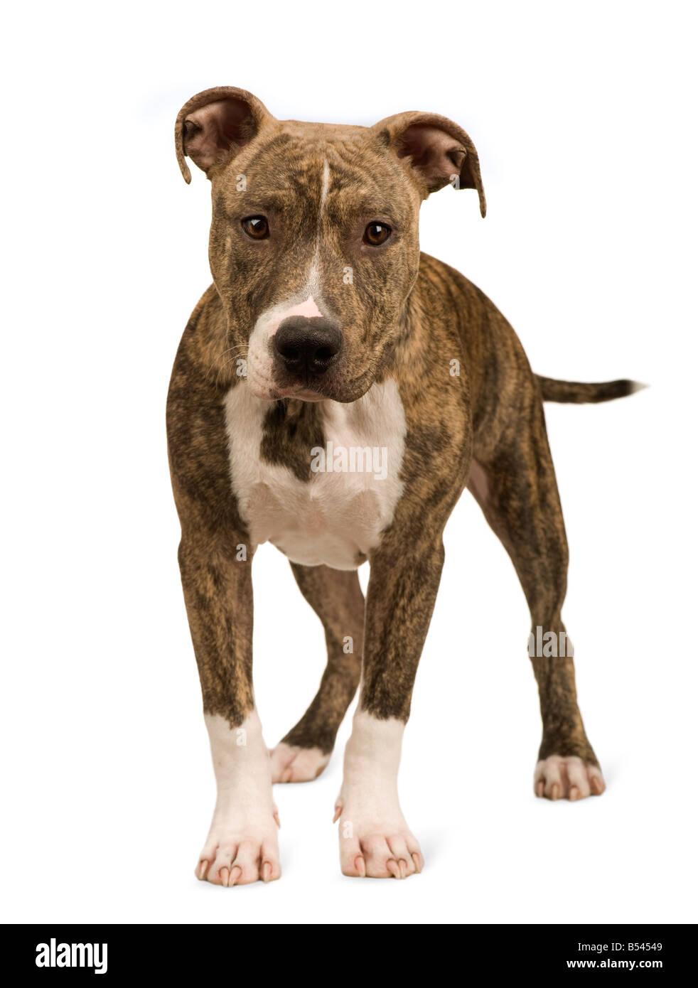 American Staffordshire terrier chiot 5 mois devant un fond blanc Banque D'Images