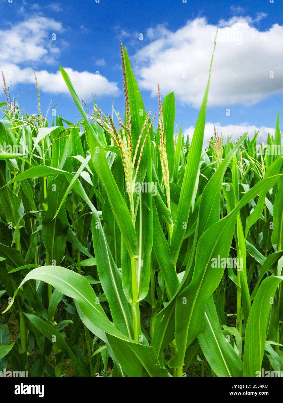 Les plants de maïs en été Photo Stock