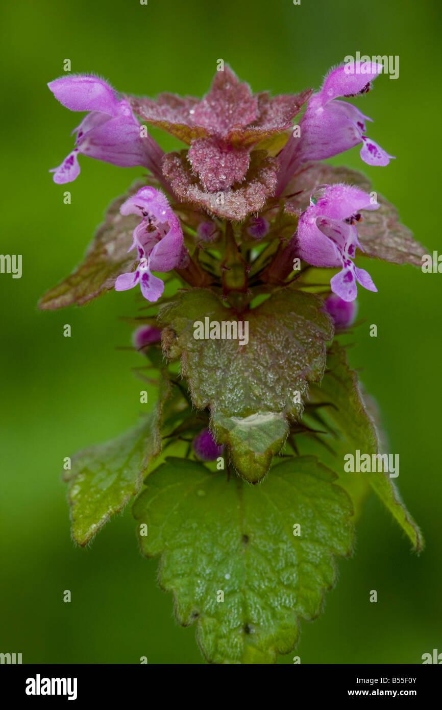 Lamium purpureum lamier rouge en fleur mauvaise herbe commune dans UK Banque D'Images