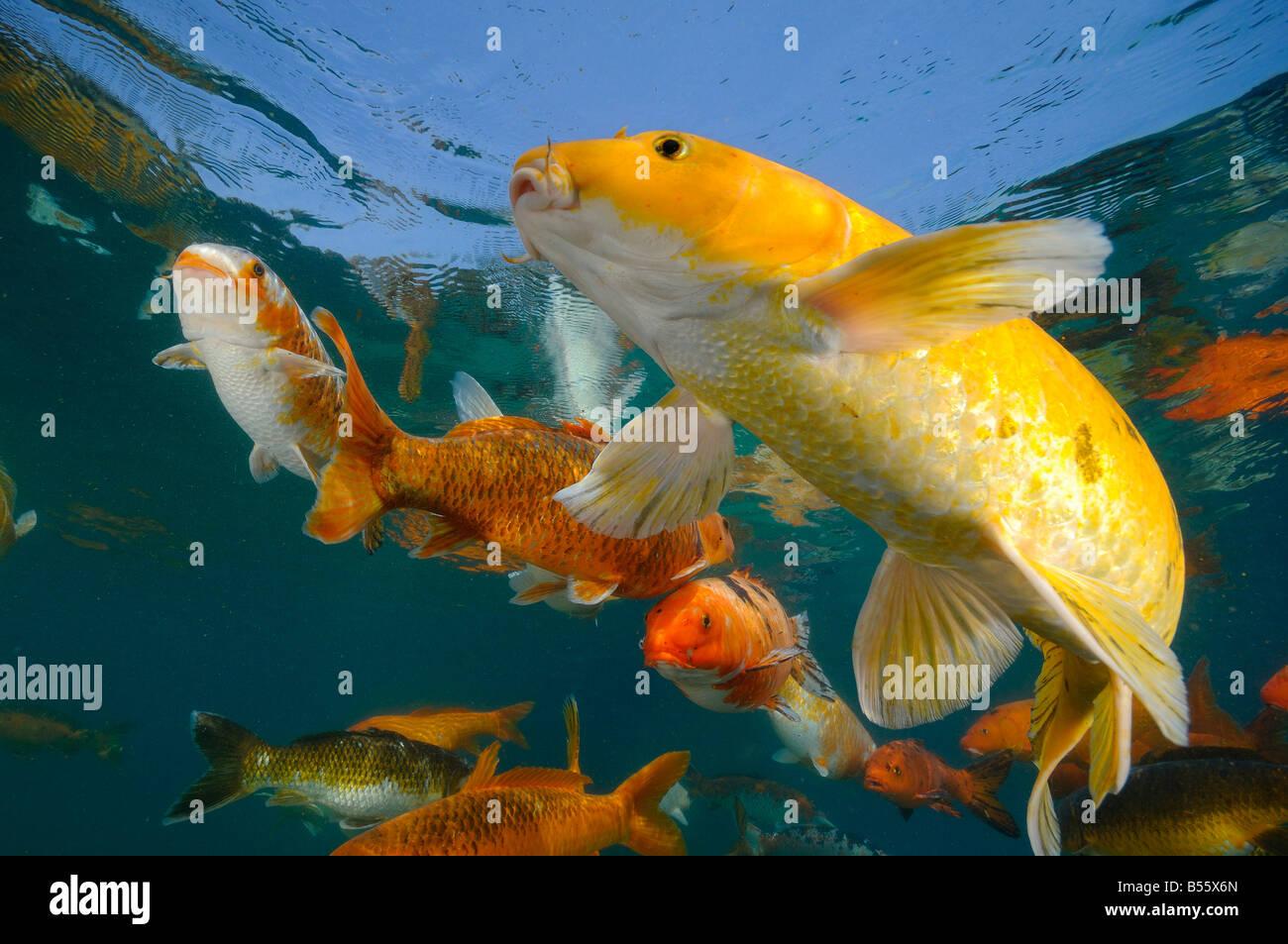 La carpe koï sont élevées dans des étangs d'eau douce Photo Stock