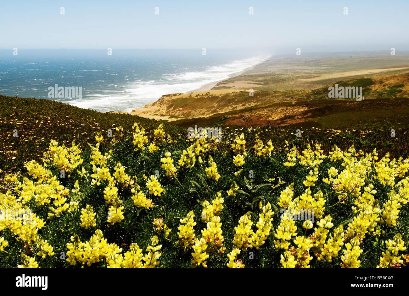 La Californie San Francisco lupin jaune fleurs sauvages à Point Reyes dans le comté de Marin. Photo Stock