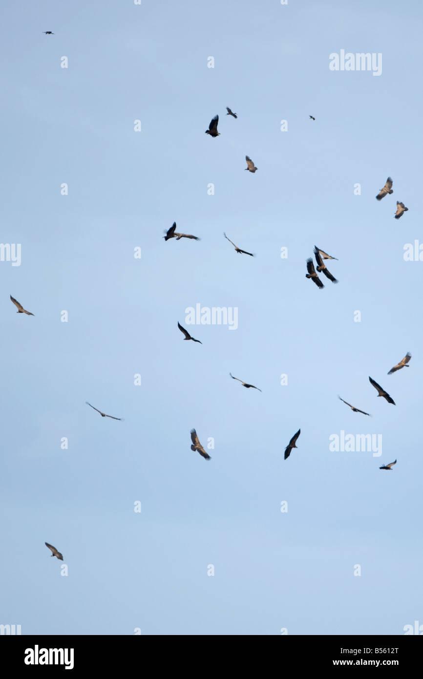 Eurasian Griffon Gyps fulvus vautour de Griffon Gyps rueppellii Banque D'Images