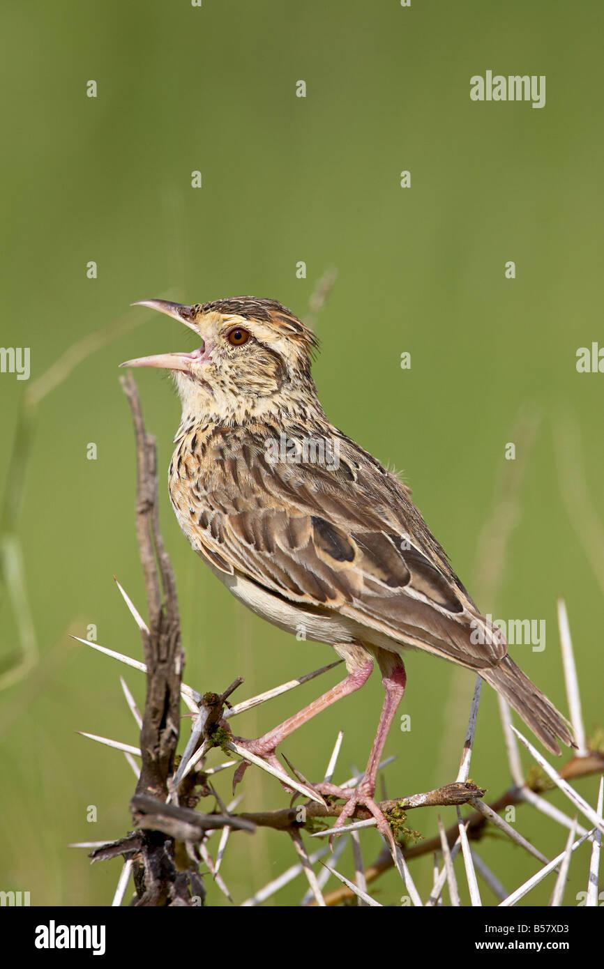 De couleur fauve (Mirafra africanoides alouette) au chant, le Parc National du Serengeti, Tanzanie, Afrique orientale, Photo Stock
