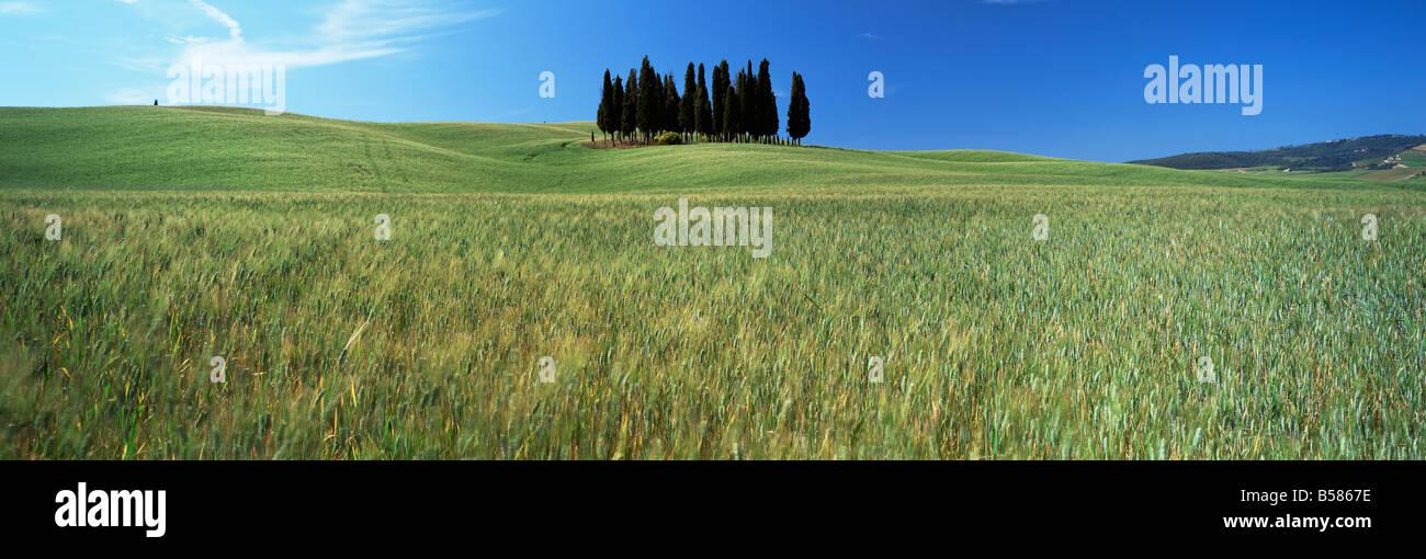 Cyprès dans le champ des cultures céréalières sous ciel bleu, près de San Quirico d'Orcia, Photo Stock